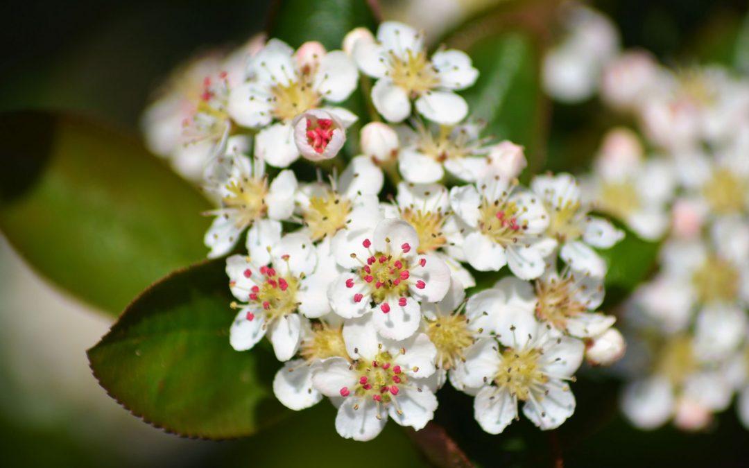 Die blühenden Aronia-Pflanzen 2019