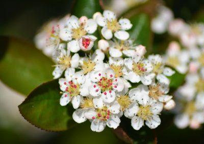 kwitnący krzew aronii