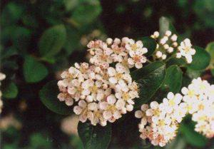 kwitnąca aronia