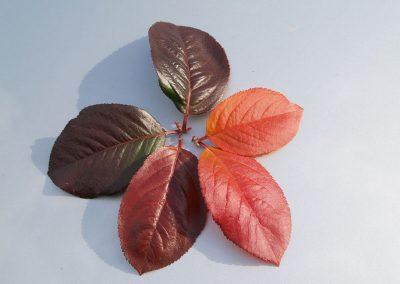 czerwone liście
