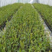 plantacja roślin aronii