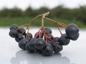 owoce aronii