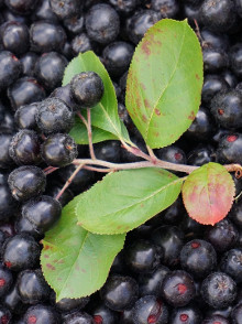 Aronia – Chokeberry and anthocyanins