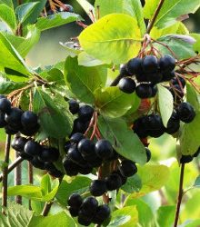 Aronia – Superfruit