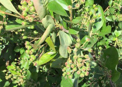drzewko aronii